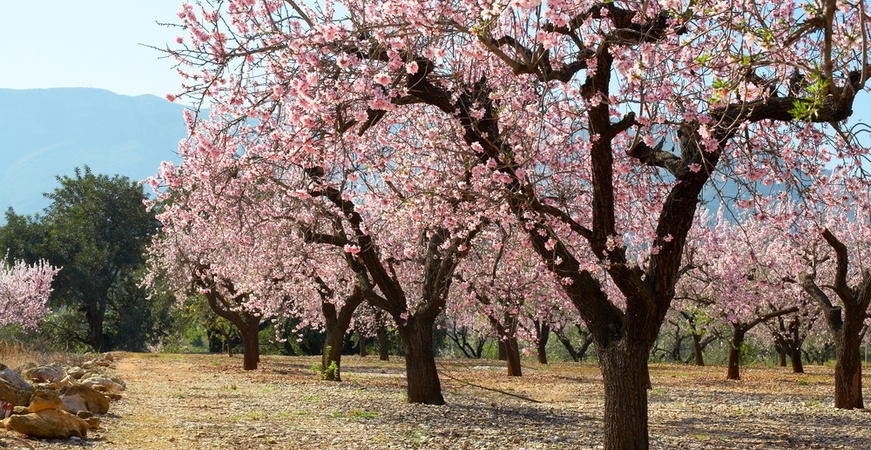 Image for BLOSSOMING ALMOND TREES