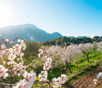 Image for Mallorca Almond Blossom: A beautiful nature spectacle