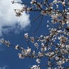 Image for Almond trees in flower, spring in winter in Majorca